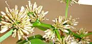 幸福の木 花のつぼみ